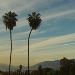 Two Majestic Palm Trees