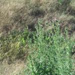 Some Thistle Plants