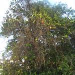 An Orange Tree
