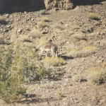 Donkey In Death Valley